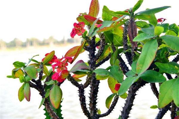 江门长廊生态园不是人间富贵花的仙人掌成片开
