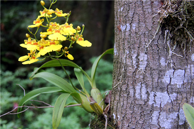 佛山南丹山树上兰花开花了,林中发丛花,鲜枝