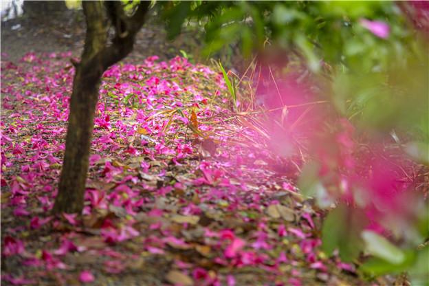 佛山南丹山:紫荆花落成美景,美人花下翩翩舞