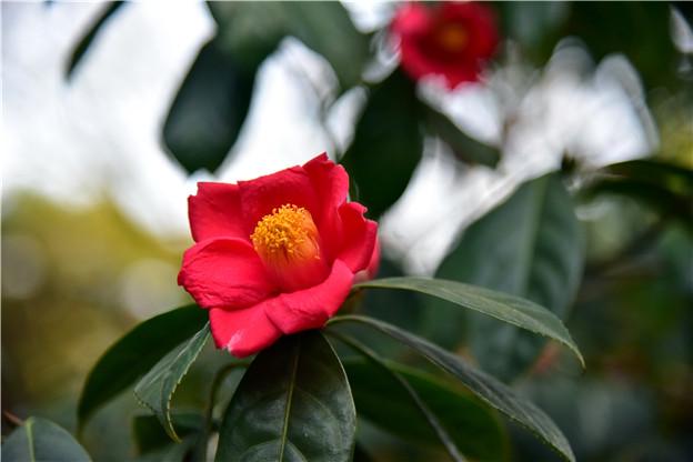 一株茶树开出万朵茶花,广东英德宝晶宫茶花迎