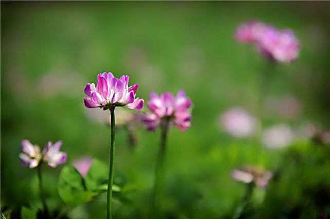 有一种春天,叫广东连山金子山脚下紫云英的诗