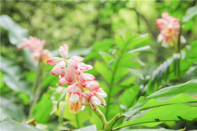 佛山南丹山有一种花,少女看了羞红了脸,妈妈